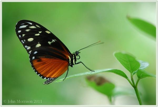 Tiger Butterfly by bayleaf1