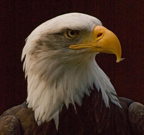 Bald Eagle by JohnJenkins99
