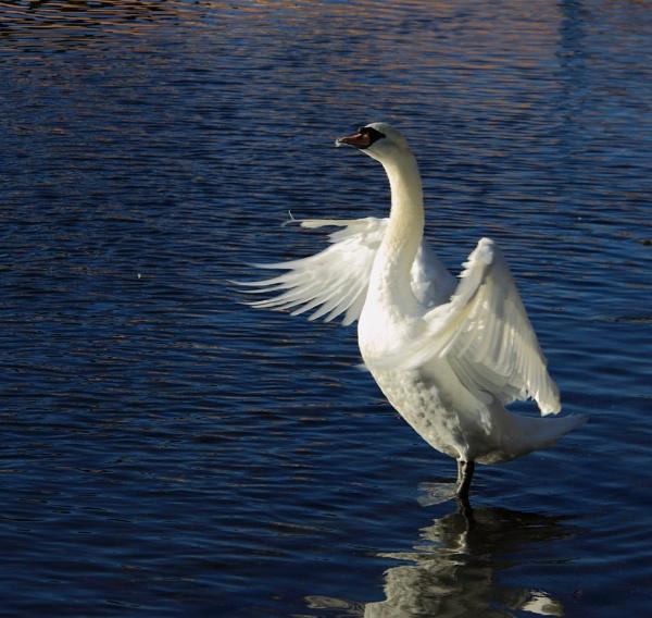 Winter Swan by ambercat