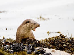 Otter Cub Isle of Mull