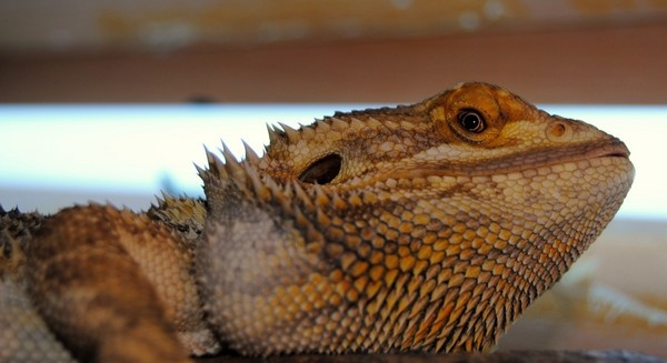 Bearded Dragon by mitchellbanksphotography