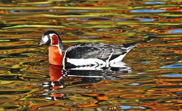 red belly  goose by tattsdurham