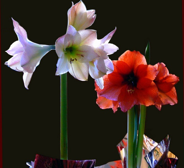 amaryllis pink and red by blondspice