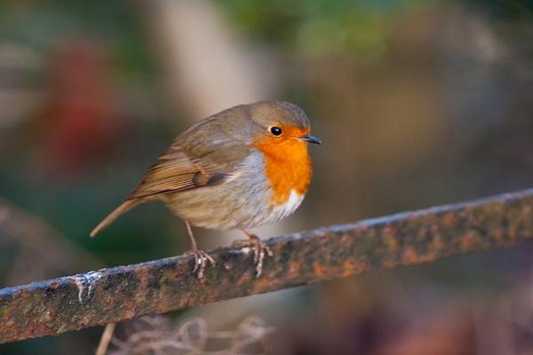 Robin by iainglennie