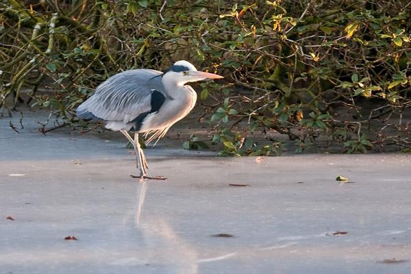 Grey Heron by iainglennie