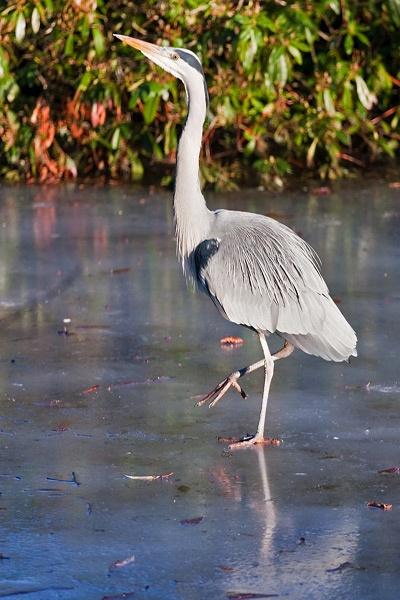 Grey Heron 2 by iainglennie