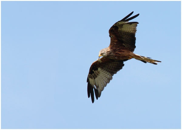 red Kite by BobbyP