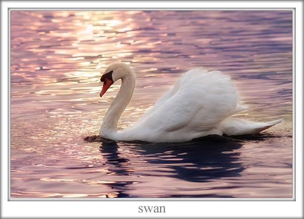 swan by joze
