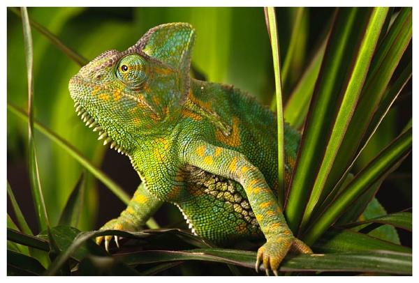 Chameleon by BobA