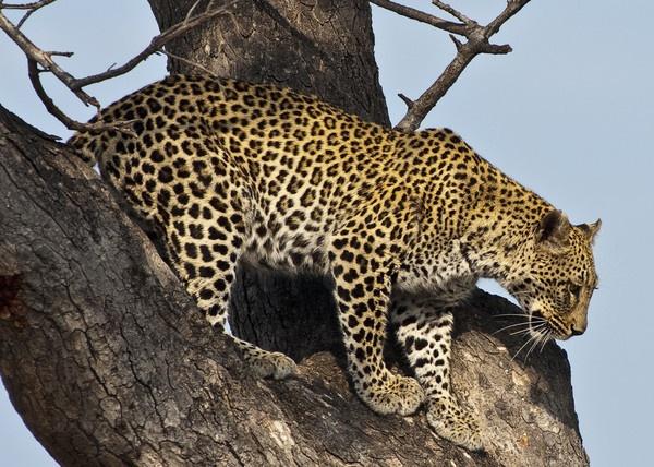 Kruger Leopard by Kruger01