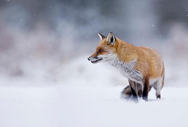 vixen in snow by Enmark