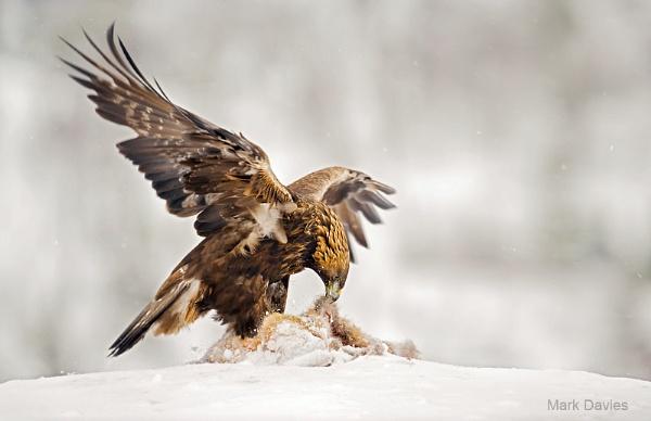 Golden Eagle by Enmark