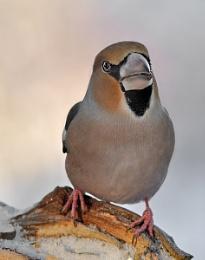 Hawfinch II
