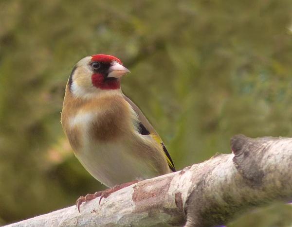 Goldfinch by CallumThomas