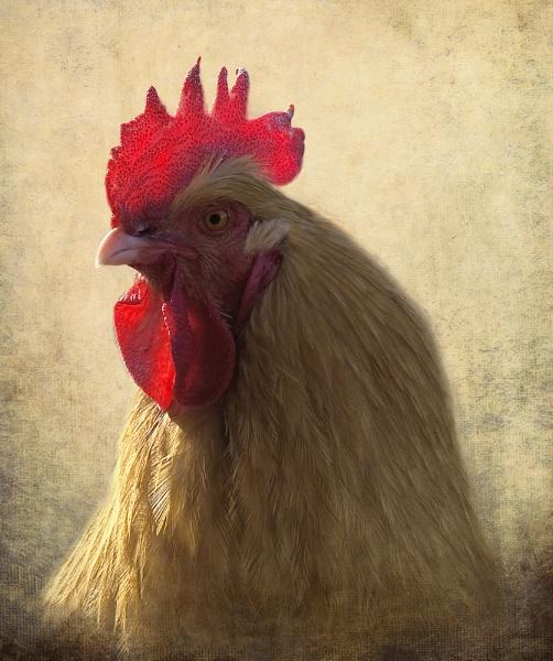 My cockerel Bert by dormay