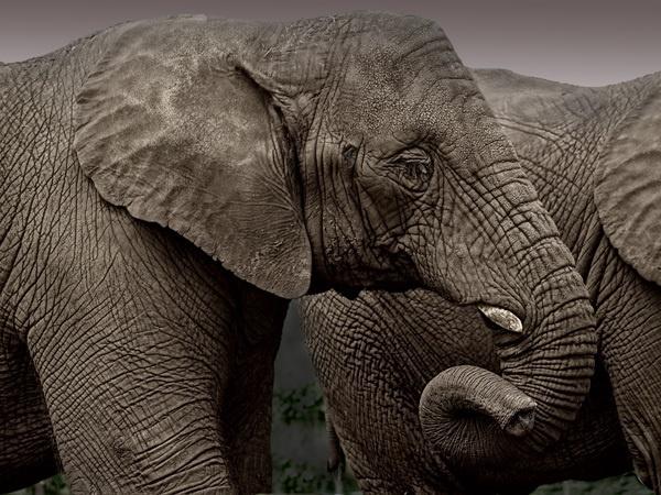 Elephant by Gertmint