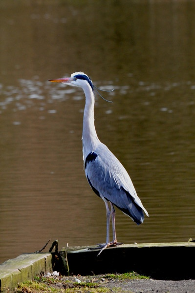 heron by terry67