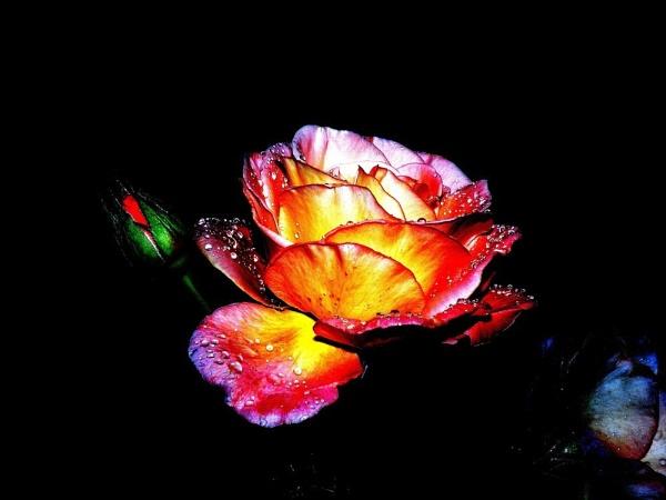 Rainbow Rose by OisinPhotography