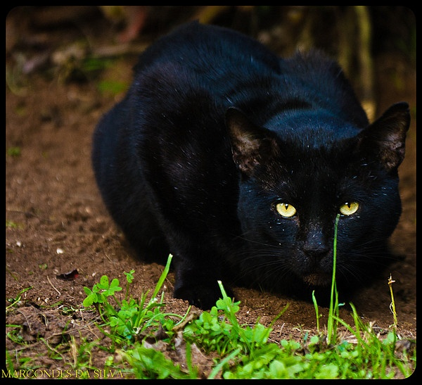 The black cat by CONDE