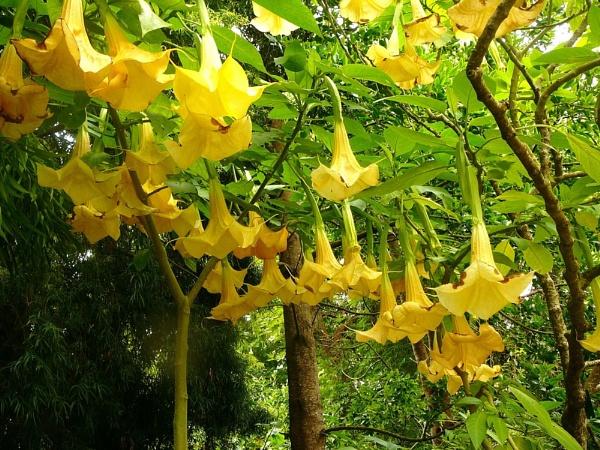 yellow bellflowers by blondspice