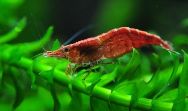 Cherry shrimp by Saxodave