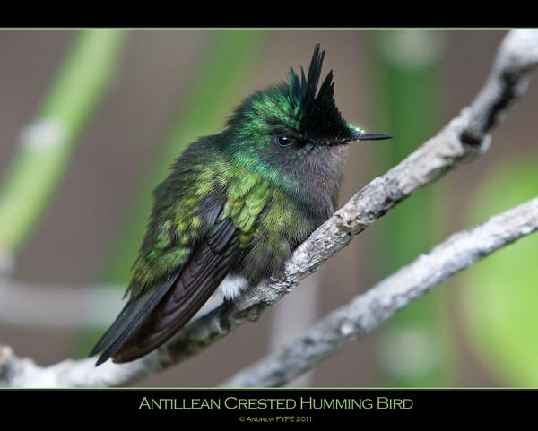 Antillean Crested Hummingbird by afyfe