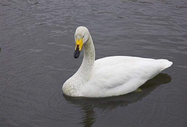 Bewick\'s Swan by Hobo
