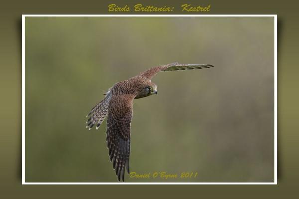 Birds Brittania: Kestrel by danob