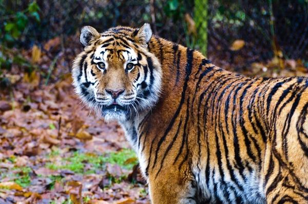 Siberian Tiger by Ian Hunter
