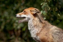 Fluffy Fox