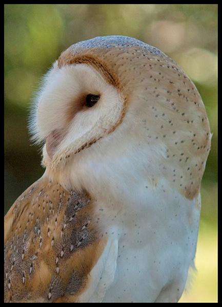 Barn Owl by Lillian