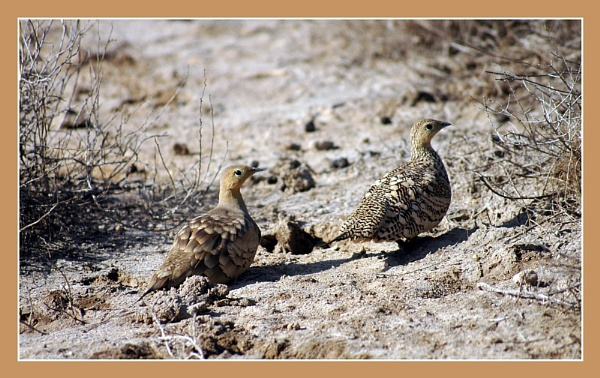 Quail in Pair by prabhusinha