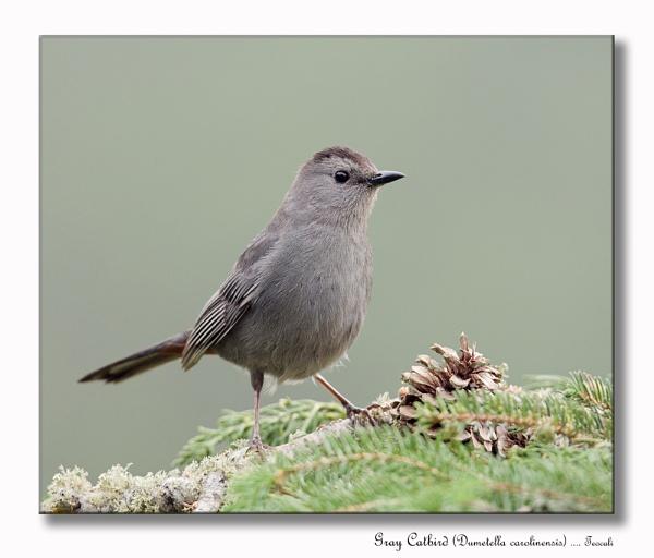 Gray Catbird (Dumetella carolinensis) by teocali