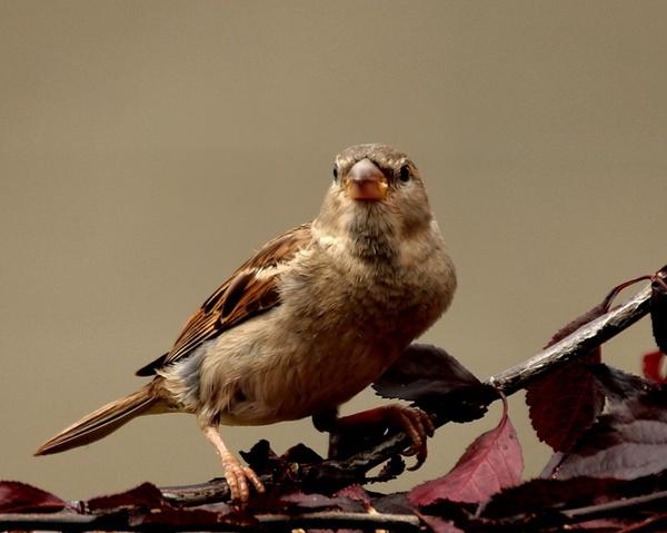 Sparrow by STEVELIN