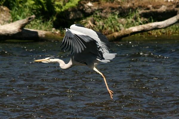 Heron in flight by paulbof