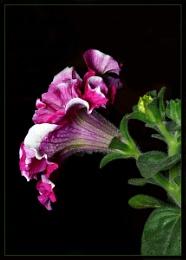 Bi-Color Pitunia