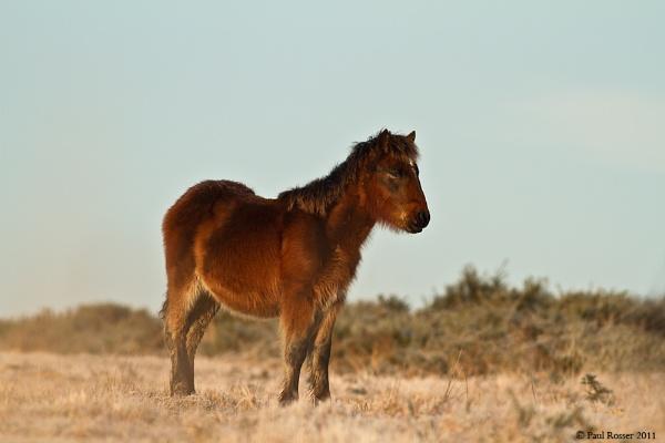 Wild Gower Foal by paulrosser