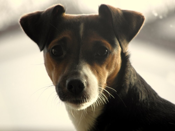 coco  a jack russell by hughsey