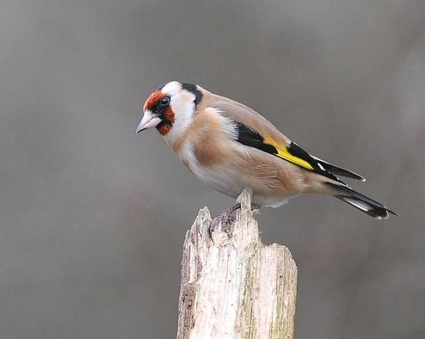Beautiful Goldfinch by GeminiNeil
