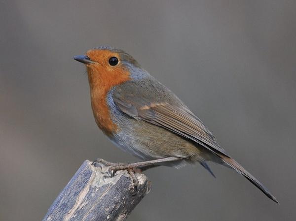 Robin by GeminiNeil