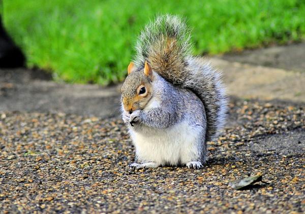 Grey squirrel by gabriel_flr