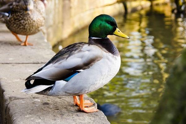 Mallard Duck by janeil