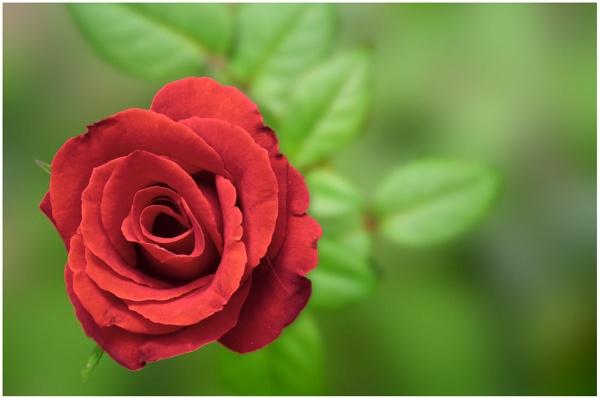 Red Rose.. by rajishravi