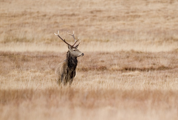 Red Deer Stag by rmccombe