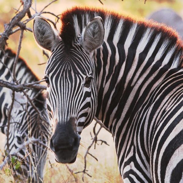 Zebra Crossing by Fairoaks
