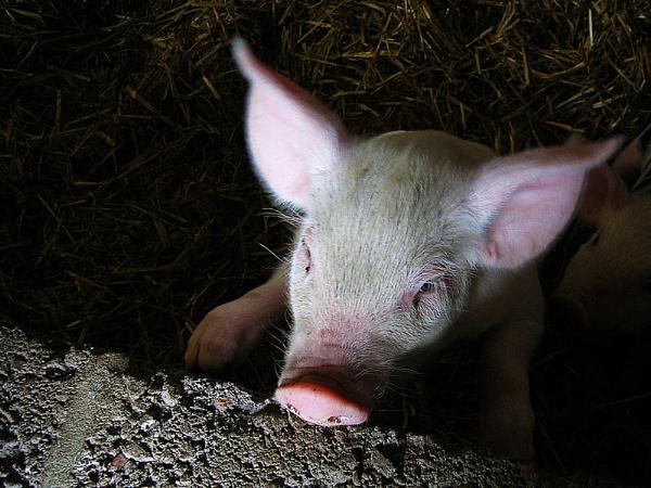 Pig-a-Boo by brq