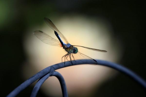 blue dauber by dragonflies8888