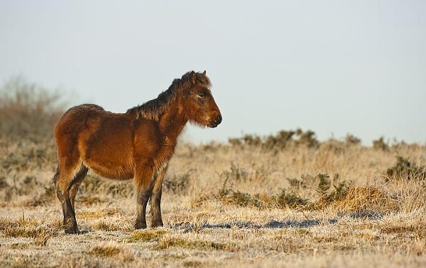 Gower Pony by geoffrey baker