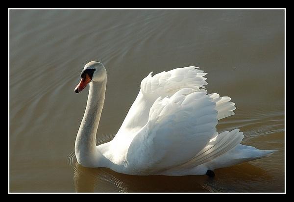 Mute Swan by Hobo