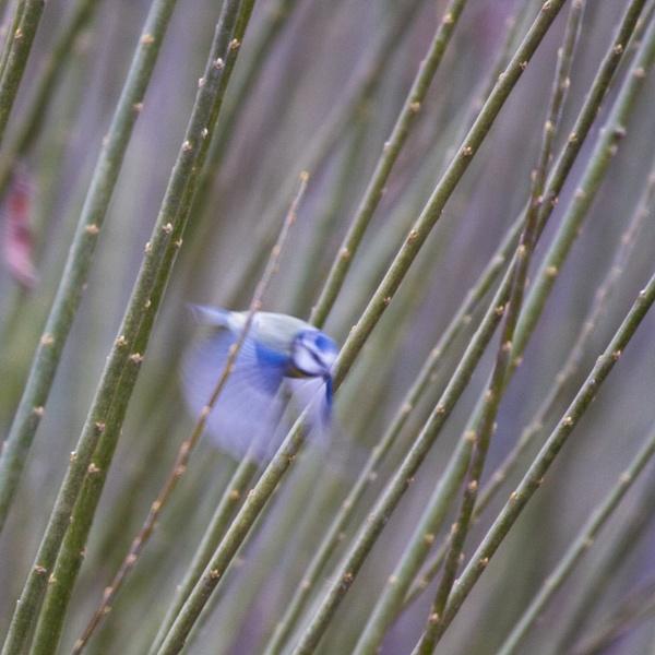 Blue Blurr by kevspiers